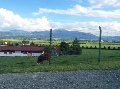 Die Kühe sind bereit...